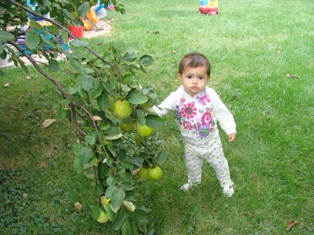 A toddler girl standing by the branch of a pear tree with several pears growing on it