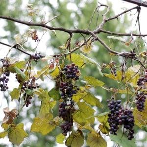 Grapes | www.diethood.com
