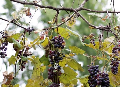 Grapes   www.diethood.com