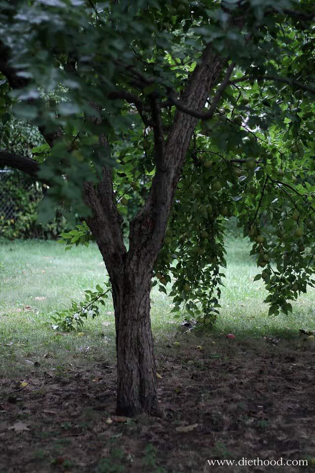 Pear Tree via Diethood