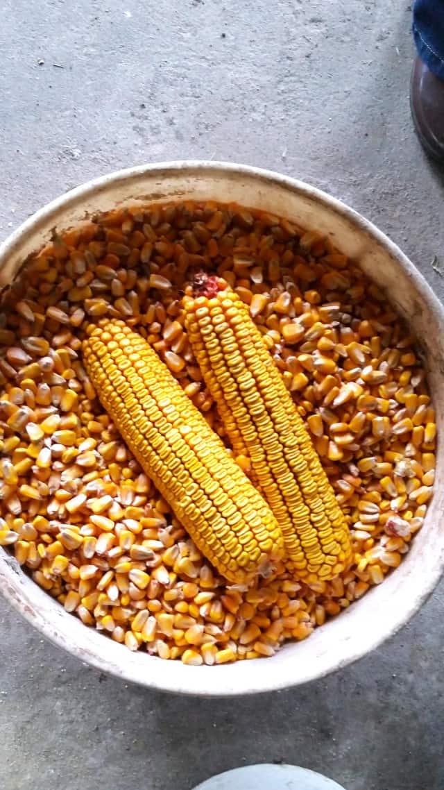 Feeding Corn
