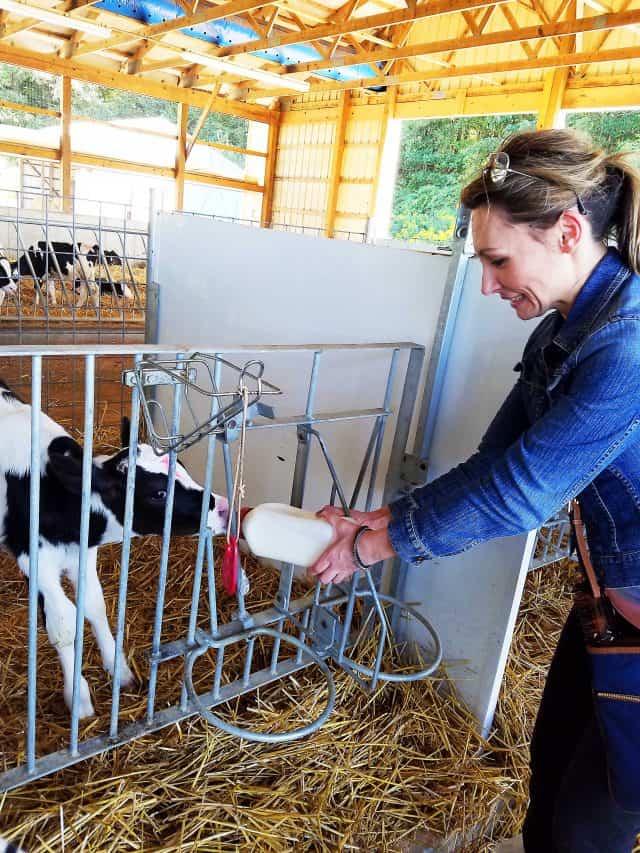 feeding-calf