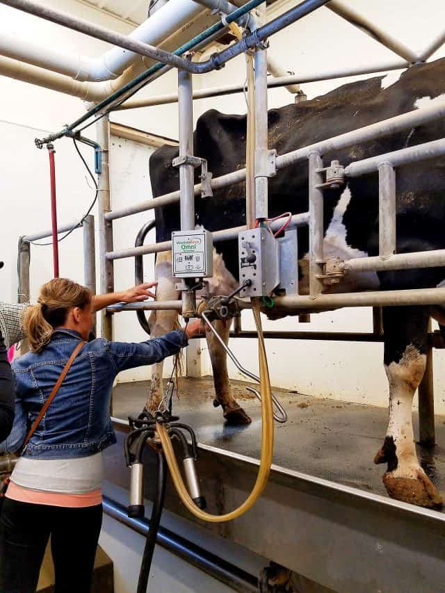 milking-cows